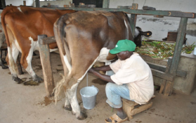 Dairy Farming In Migori County